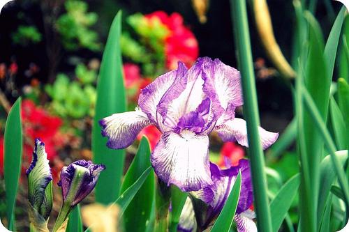 (unofficial) flower week: iris