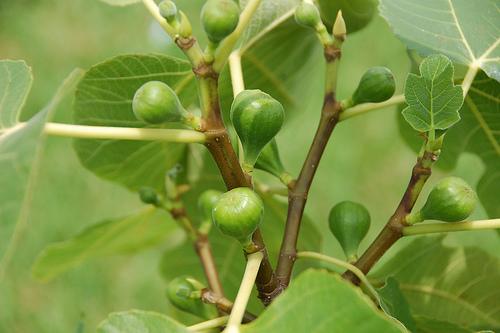 fig babies