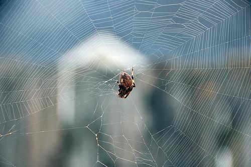 orb weaver spider at daybreak