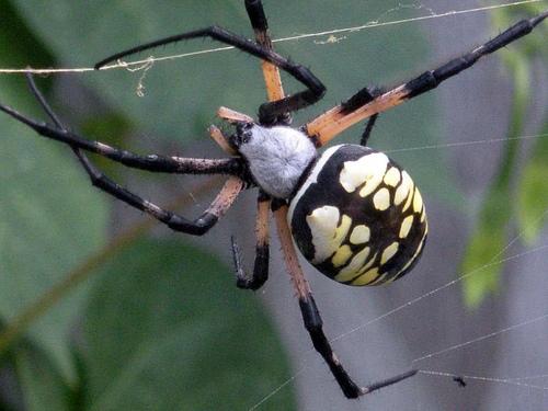 golden orb weaver (garden spider)