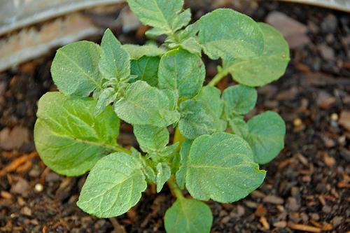 potatoes growing in pots