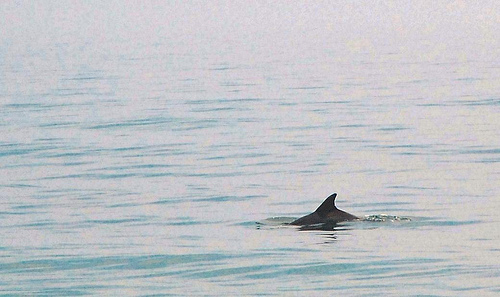 obx: dolphin