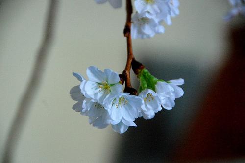 ornamental pear