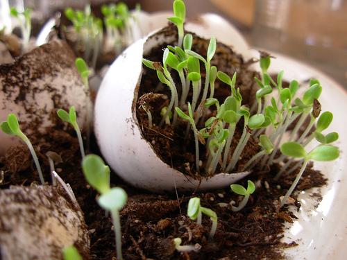 lettuce seedlings in egg shells