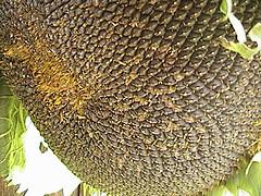 Sunflower Drying